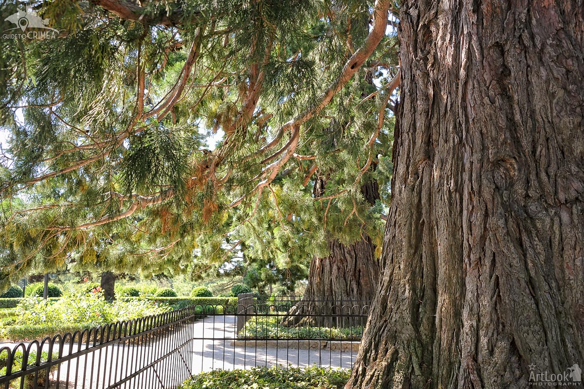 Under Branches of the Giant Sequoiadendron