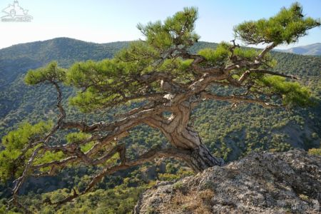Sudak Pine-Tree at Sokol Mountain in Novy Svet, Crimea