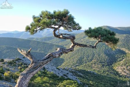 Sudak Pine Tree Over Mountains in Novy Svet
