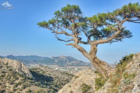 Stankevich Pine Tree on Mount Sokol, Novy Svet
