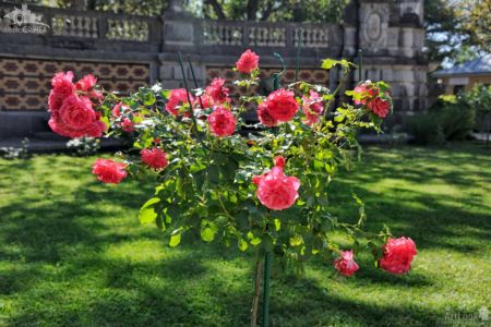 Rose Tree With Pink Roses in Massandra Garden